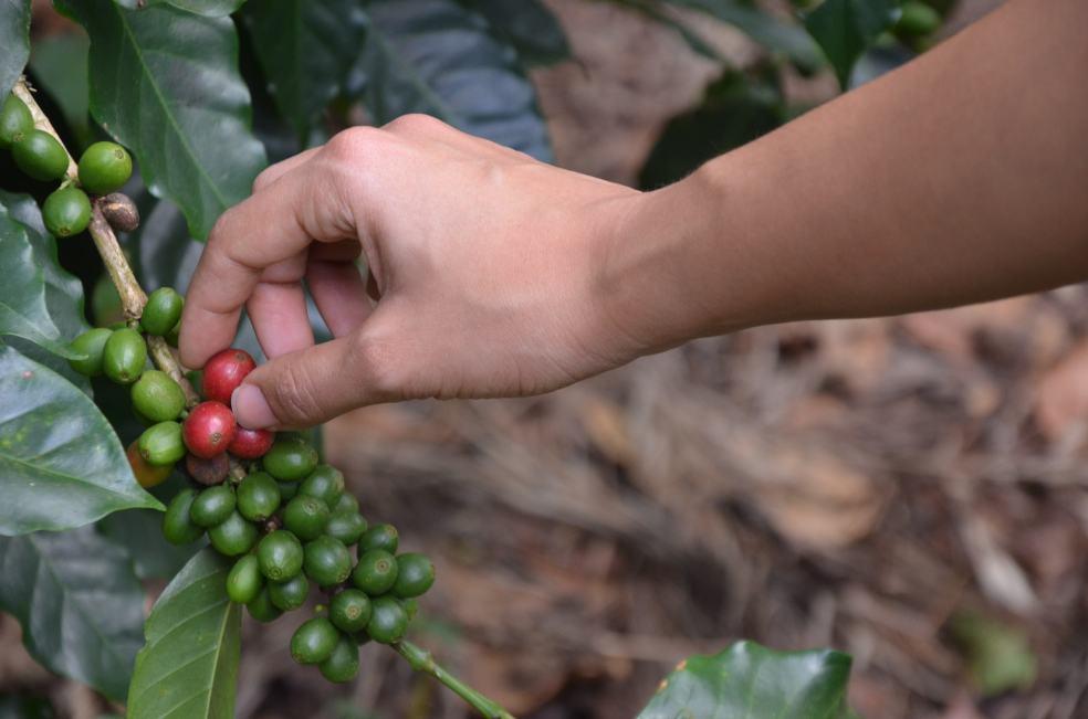 Gente de la Isla coffee Dominican Republic